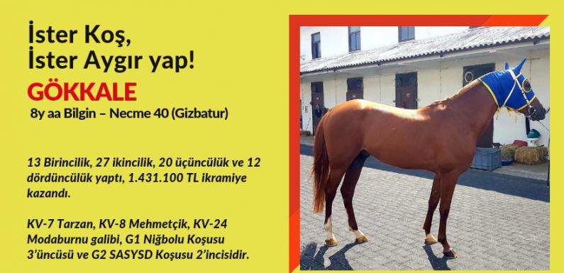 28.000 TL'ye Arap atı. İster Koş, İster Aygır yap!