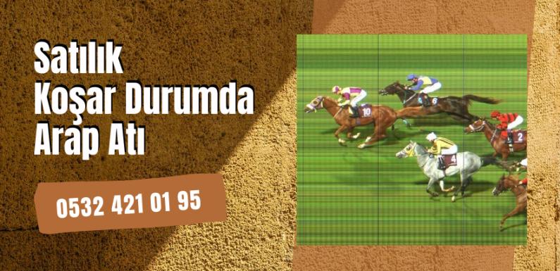 Satılık Koşar Durumda Arap Atı