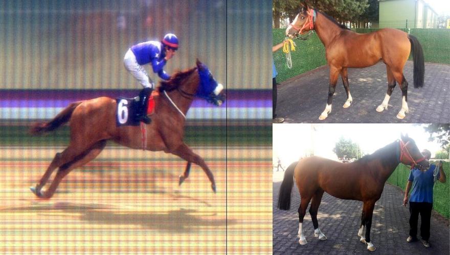 Koşar Durumda İngiliz Atı ve İdmanda Arap Tayı