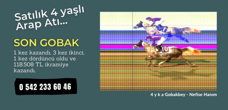 Satılık 4 yaşlı Arap Atı…