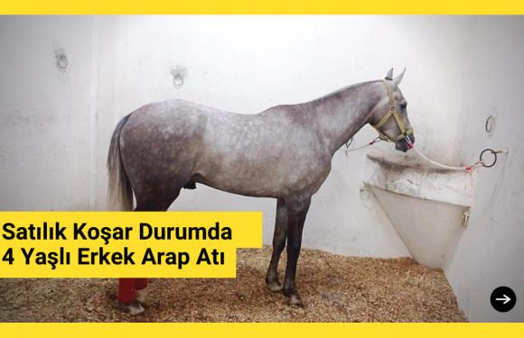 Satılık Koşar Durumda 4 Yaşlı Erkek Arap Atı