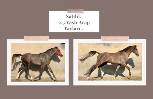 Satılık 2.5 Yaşlı Arap Tayları…