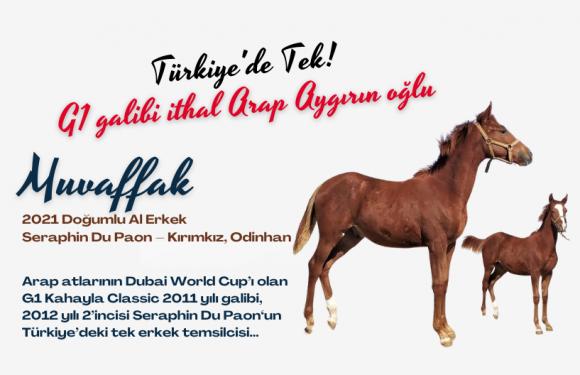 Türkiye'de tek! G1 galibi ithal Arap Aygırın oğlu…